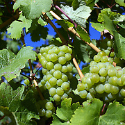 Grapes on the vine at The Gibbston Valley vineyard in Gibbston Valley, Central Otago. The winery includes a cave which has been blasted out of the solid schist of the Central Otago mountains, and creates an ideal natural environment to mature award-winning wines, Gibbston Valley Wines,  Queenstown, Central Otago, New Zealand. 23rd March  2011. Photo Tim Clayton.