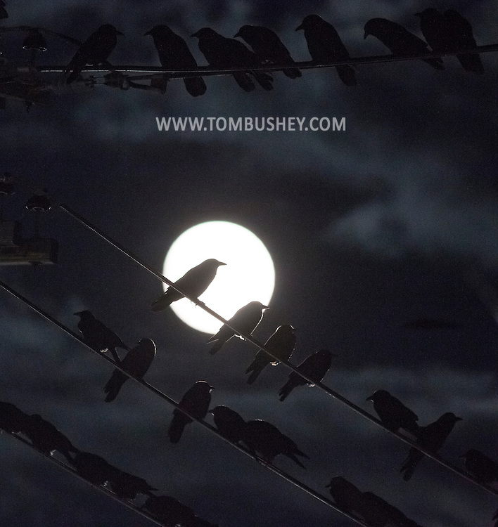 Middletown, New York - Crows and the nearly full moon on Nov. 24, 2015.