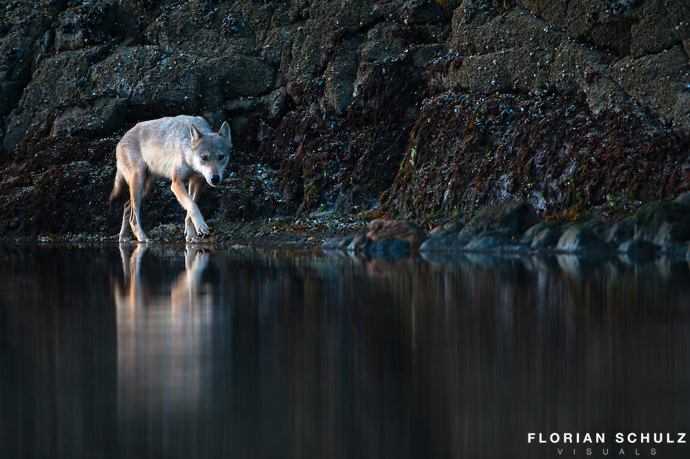 A coastal grey wolf, looks for salmon along the shore of the Great Bear Rainforest, in<br />