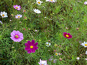 A field of colourful wildflowers in red, pink, purple and white. Photographed in September in Yunnan province, China