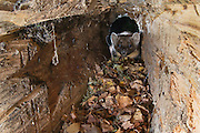 Pine marten (martes martes) foraging in old log in autumn, Scotland.