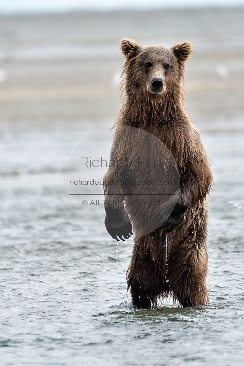 A grizzly bear sub-adult stands up to look for chum salmon in the lower lagoon at the McNeil River State Game Sanctuary on the Kenai Peninsula, Alaska. The remote site is accessed only with a special permit and is the world's largest seasonal population of brown bears.