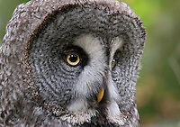 Great grey owl (Strix nebulosa) in close-up, Bergslagen, Sweden.