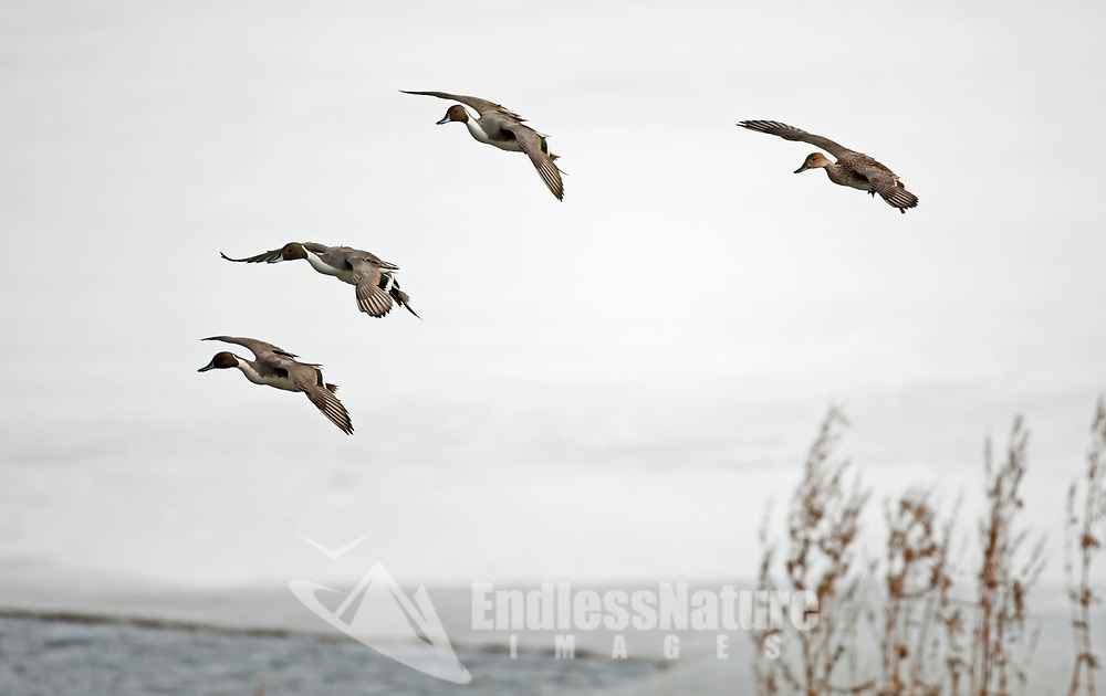 After a northern Utah snowstorm the Northern Pintail ducks start flying in to the open water of a farm pond.