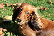 This is Inca, a long-haired miniature Dachshund