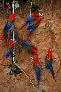 Red & Green Macaws on clay Lick<br />Ara chloroptera<br />Madre de Dios River, PERU South America
