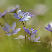 Group of Anemone hepatica (Hepatica nobilis) with one flower in focus.