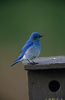 Mountain Bluebird (Sialia currucoides) male on nest box, Near Calgary, Alberta, Canada - Photo: Peter Llewellyn