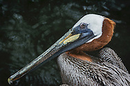 The brown pelican (Pelecanus occidentalis) is the smallest member of the pelican family, Pelecanidae. It is one of three pelican species found in the Americas and one of only two that feeds by diving in water.