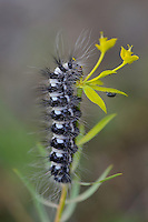 Butterfly caterpillar sp. Eastern Rhodope mountains, Bulgaria