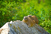 Rock Hyrax (Procavia capensis) is a medium-sized (~4 kg) terrestrial mammal, superficially resembling a guinea pig with short ears and tail. The closest living relatives to hyraxes are the modern-day elephants and sirenians.<br /> <br /> The rock hyrax is found across Africa and the Middle East, in habitats with rock crevices in which to escape from predators.