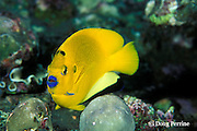 three spot, three-spot, or threespot angelfish, Apolemichthys trimaculatus, Liberty Wreck, Bali, Indonesia
