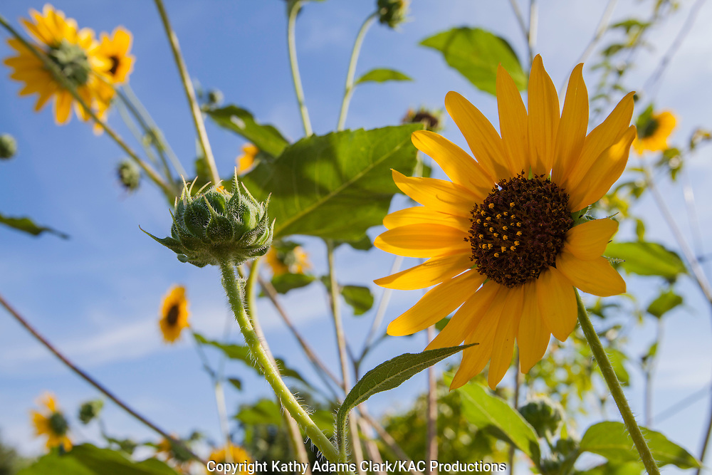 Sunflowers growing in Big Bend National Park; Texas.