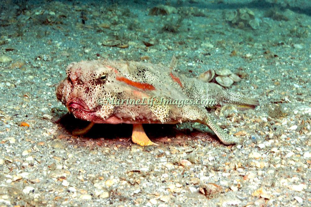 Polka-dot Batfish inhabit sand, mud, rubble and rocky bottoms near reefs in Florida, Bahamas and Gulf of Mexico; picture taken Blue Heron Bridge, Palm Beach, Florida.