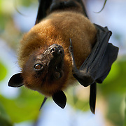 Lyle's flying fox (Pteropus lylei) is a species of bat in the family Pteropodidae. It is found in Cambodia, Thailand, and Vietnam.