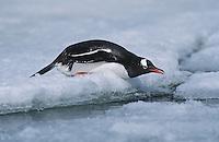 Antarctica Greenwich Island sliding Gentoo Penguin (Pygoscelis papua)