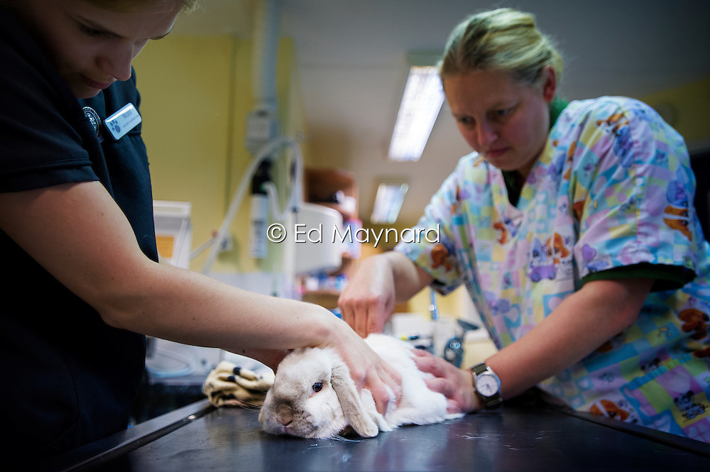 Nurse and surgeon sedate a rabbit prior to a procedure at Rushcliffe Veterinary Surgery, Nottingham, UK.