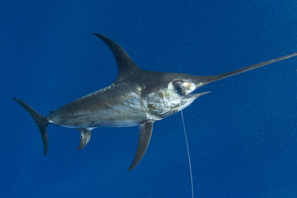 swordfish, Catch 22, Stanczyk, Vic Gaspeny, underwater swordfish
