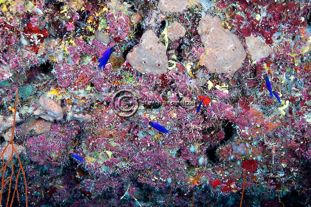 Blackcap Basslet, Gramma melacara, Böhlke & Randall, 1963, Grand Cayman