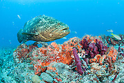 An endangered Goliath grouper, Epinephelus itajara, swims on a coral reef in Palm Beach County, Florida, United States