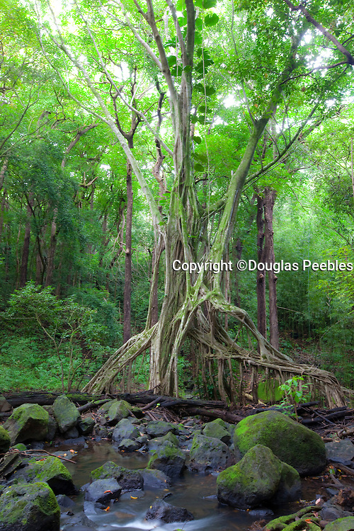Banyan Tree, Judd Trail, Nuuanu Valley, Honolulu, Oahu, Hawaii