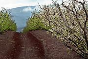 Israel, Golan Heights, Apple orchard