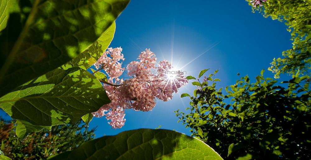 Lilac Garden