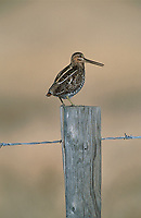 Common Snipe (Gallinago gallinago) on fence post, near Powderface Trail, Kananskis Country, Alberta, Canada   Photo: Peter Llewellyn