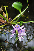 Water Hyacinth blossom in pond, Bethlehem,PA 06232010
