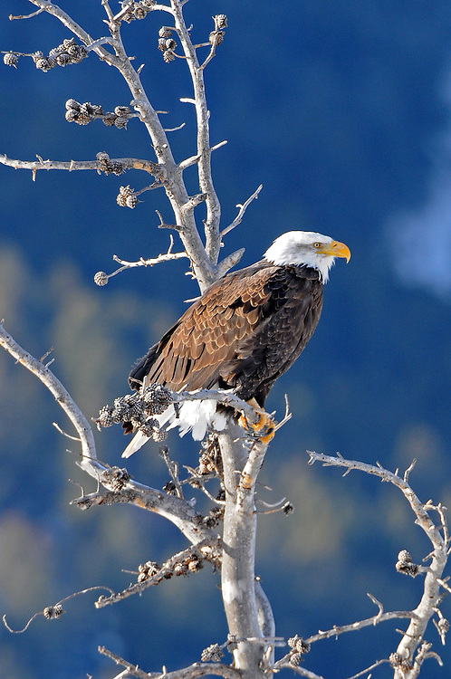 Perched on an old snag, a bald eagle scans for fish in the Lamar River below. Bald eagles can spend hours on a particular perch if the fishing is good in that area.