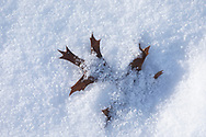 A Northern Pin Oak leaf (Quercus ellipsoidalis) is caught in the snow, under a light layer of new snow.