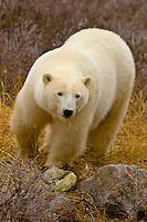 A polar bear walking on the tundra along Hudson Bay, near Churchill, Manitoba, Canada