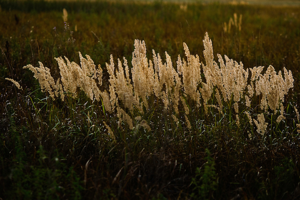 Reedgrass (Calamagrostis) in the sunset, Hortobagy National Park, Hungary