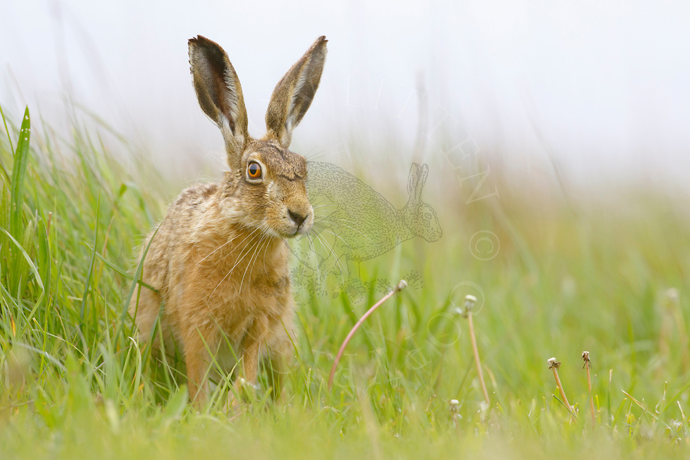 European Hare (Lepus europaeus) adult sitting in grass margin, South Norfolk, UK. May.