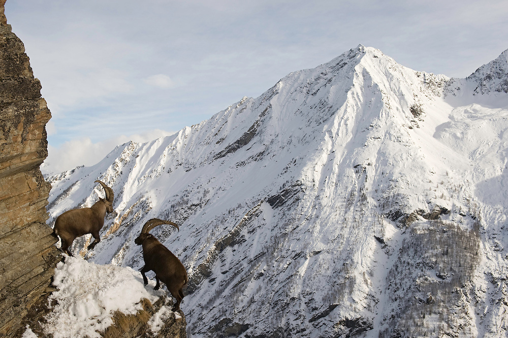 29.11.2008.Alpine Ibex (Capra ibex) in alpine landscape. Fighting..Gran Paradiso National Park, Italy