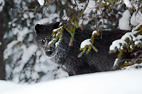 Raven, a wild wolf that was killed on the Bow Valley Parkway in January 2010 in Banff National Park.