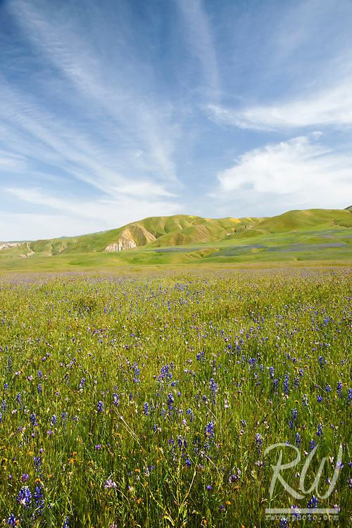 Lupine and Blue Dicks Wildflowers, Wind Wolves Preserve, California