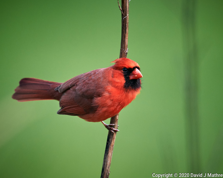 Male Northern Cardinal. Image taken with a Nikon D5 camera and 600 mm f/4 VR lens (ISO 1600, 600 mm, f/5.6, 1/1250 sec)