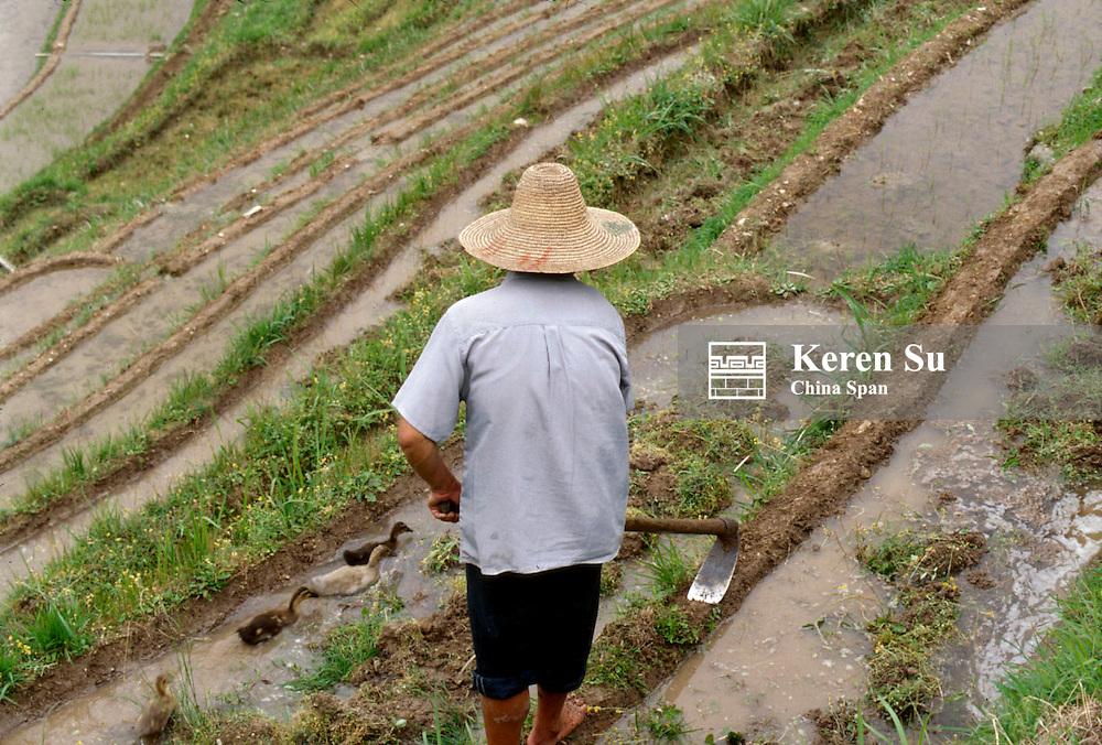 Farmer ploughing in the rice terrace, Longsheng, Guangxi Province, China