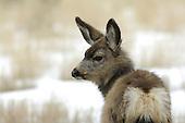 Wildlife: Mule Deer, Yearling