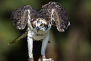 Osprey perched at the Center for Birds of Prey November 15, 2015 in Awendaw, SC.