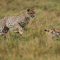 Kenya, Masai Mara Game Reserve, Cheetah (Acinonyx jubatus) chases after Thomson's Gazelle (Eudorcas thomsonii) calf during hunt