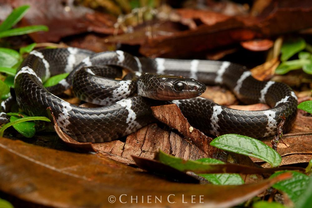 Unidentified wolf snake, possibly representing a juvenile Stegonotus borneensis. Sarawak, Malaysia.