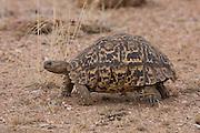 Leopard Tortoise, Kruger, South Africa