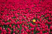 Single yellow tulip in tulip field, Skagit Valley, near Mt. Vernon, Washington