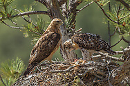 Nestling red-tailed hawk regurgitates indigestible bone and fur (casting) from previous day's meal before eating fresh prairie dog brought to nest by adult y, © 2011 David A. Ponton
