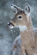 White-tailed Deer Fawn (Odocoileus virginianus) during a Winter snowfall, Missoula, Montana