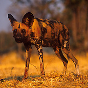 African Wild Dog (Lycaon pictus)  -  Linyanti - Okavango Delta - Botswana <br /> <br /> African Wild Dogs (Lycaon pictus) - The African wild dog has a pelage with an irregular pattern of black, yellow, and white, distinctive for each individual. The scientific name Lycaon pictus is derived from the Greek for &quot;painted wolf&quot;. African wild dogs are found only in Africa, typically in scrub savanna and other lightly wooded areas. These magnificent animals were once widely distributed throughout much of Africa. They have been hunted, poisoned and trapped to the point where there are only remnant populations left. They are an endangered species, and an important part of the ecosystems in the areas in which they live. They are the most successful predator on the African continent due to their highly effective pack hunting strategies.