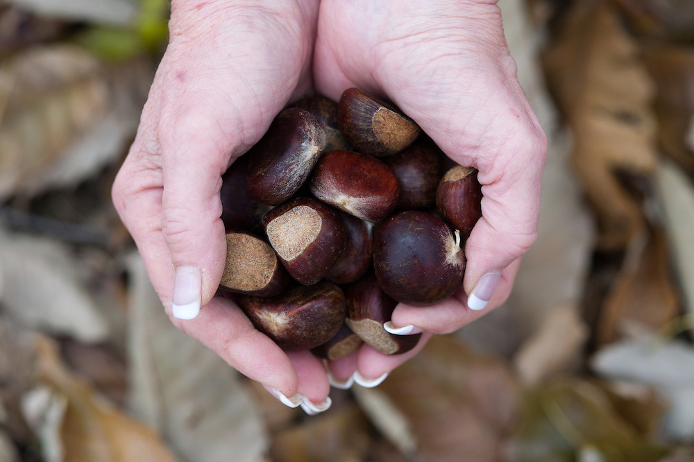 Hands holding chestnuts