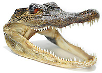 alligator head photographed on a white background